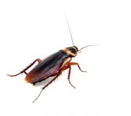 Cockroach-300x240