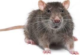 Rat, mice