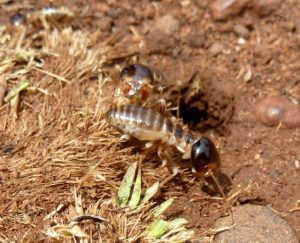 Harvester termite removal Eco-smart
